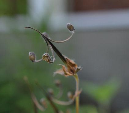 Geranium maculatum Scott Namestnik