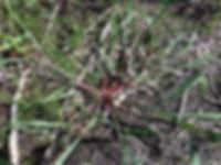 Echinochloa crus-galli.JPG