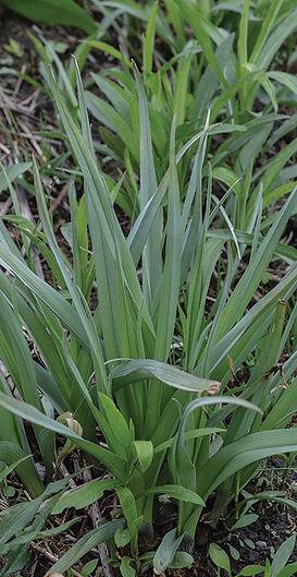 spiderwort namestnik indiana dunes