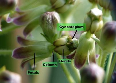 asclepias flower