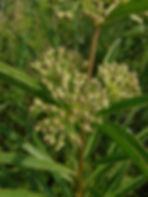 clasping milkweed indiana