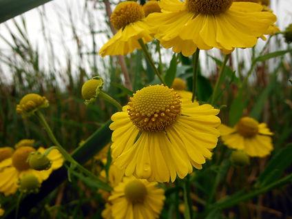 Helenium autumnale - cowles bog