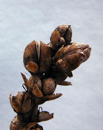 Chelone glabra seed