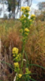 Solidago ohionensis indiana dunes.jpg