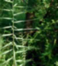 Elymus hystrix Indiana dunes