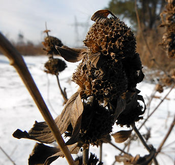 horsemint in the winter