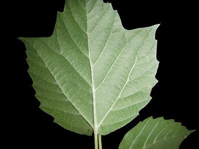 Viburnum acerifolium leaf