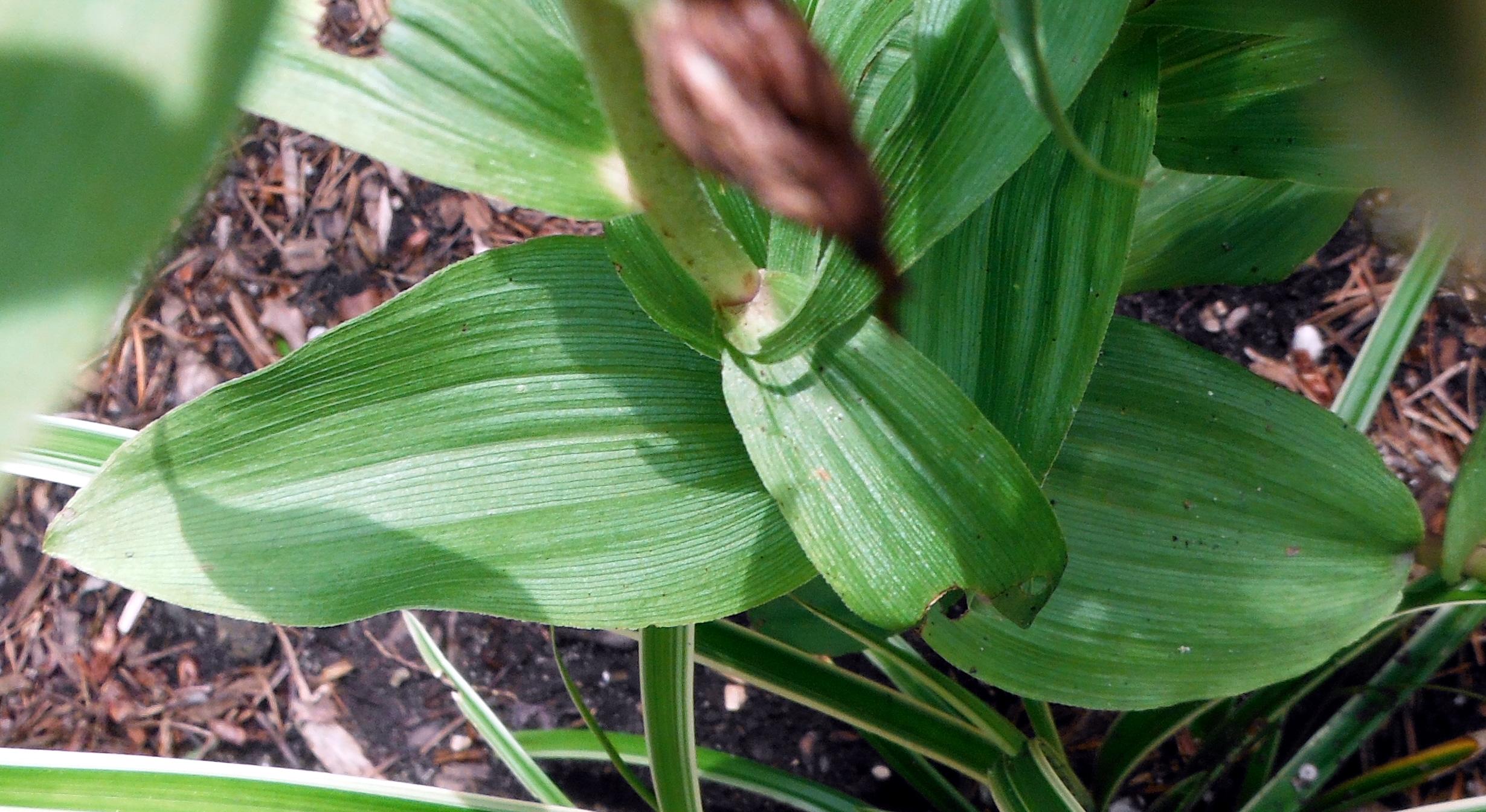 Epipactus helleborine leaves