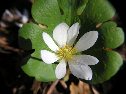bloodroot indiana