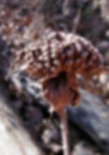 Monarda fistulosum south dakota