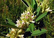 Lespedeza capitata in flower.JPG