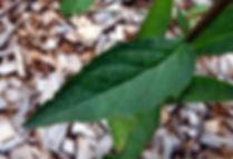 Lobelia cardinalis leaf