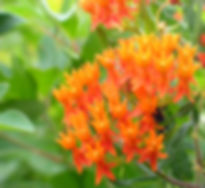Asclepias tuberosa at Howes Prairie Indiana Dunes