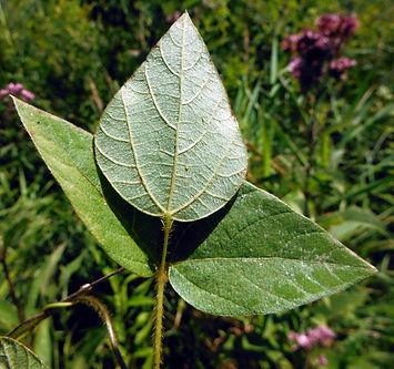 Amphicarpaea bracteata leaflets