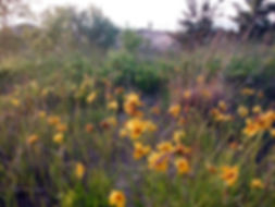 Coreopsis lanceolata - West Beach.JPG