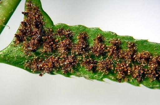 Polystichum acrostichoides sori.JPG