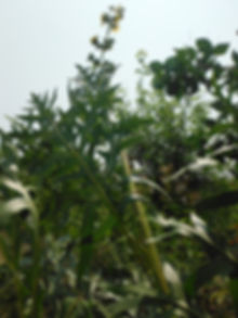 Silphium laciniatum - Great Marsh