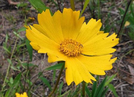 Coreopsis lanceolata.jpg