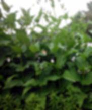 Silphium laciniatum.jpg
