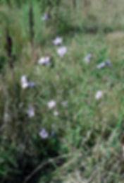 Cichorium intybus chickory.JPG