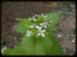 Alliaria petiolata Barker Woods Preserve