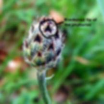 Centaurea stoebe spp. micranthos