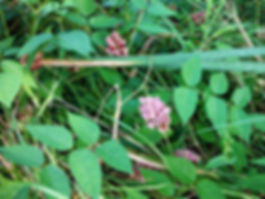 Ground nut indiana