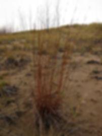 Schizachyrium scoparium indiana dunes