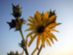 Silphium laciniatum - Mnoke Prairie
