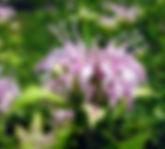 Monarda fistulosa  - cowles bog.jpg