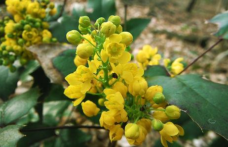 Mahonia flowers