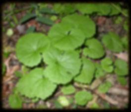 Alliaria petiolata_Scott Namestnik