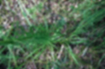 Liatris spicata at Indiana Dunes