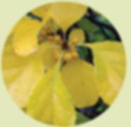 Celastrus orbiculatus by sten porse
