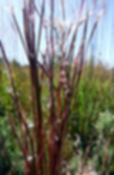 Schizachyrium scoparium indiana