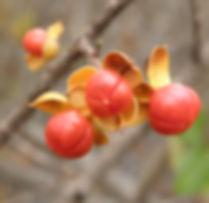 Celastrus orbiculatus fruit indiana dunes