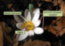 Bloodroot petals