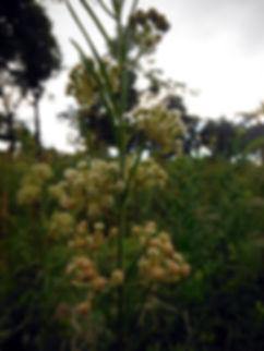 Whorled milkweed indiana dunes