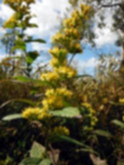 Solidago rugosa cowles bog