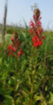 Lobelia cardinalis indiana dunes