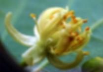 Linden flower tilia