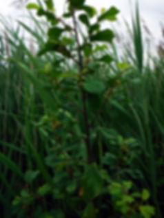 gossy buckthorn trail creek fen