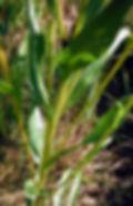Solidago ohionensis.jpg
