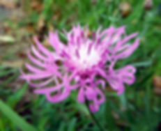 Spotted Knapweed Indiana Dunes