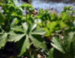 Geranium maculatum pilla