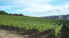 Visiting Rancho Real Vineyard #2