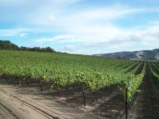 Visiting Rancho Real Vineyard #2