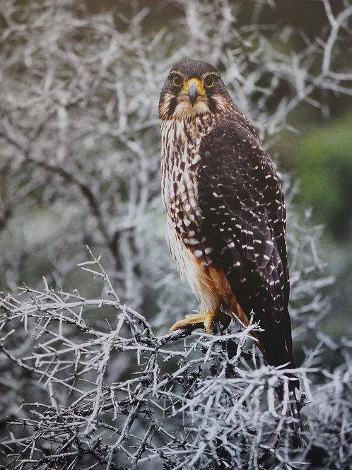 Falcon – George Empson