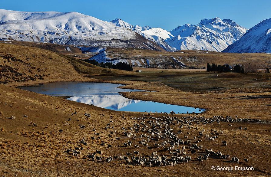 Glenmore-station-sheep-mountains.jpg