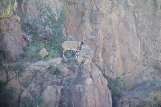 Free Range Ibex Hunting New Mexico